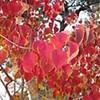 Chinese tallow tree (Sapium sebiferum)