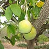 White sapote (Casimiroa edulis)
