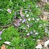 Miniature fan flower (Scaevola pallida)