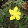 St. John's wort (Hypericum calycinum)