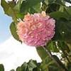 Pinkball (Dombeya wallichii)