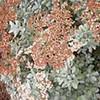 Saint Catherine's lace (Eriogonum giganteum)