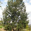 Island oak (Quercus tomentella)