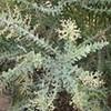 Knife acacia (Acacia cultriformis)