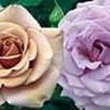 Koko Loko Roses