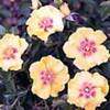 Eyconic Lemonade Roses