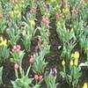 common tulips