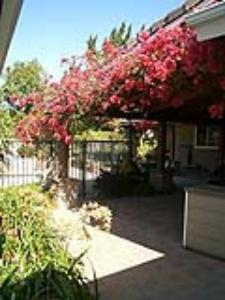 Bougainvillea on a patio roof in Northridge (Photo courtesy of Mark Landstrom)
