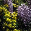 Chinese wisteria (Wisteria sinensis) and primrose jasmine (Jasminum mesneyi) (J