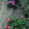 Geraniums irrigated with drip tubing (Joshua Siskin/Los Angeles Daily News)