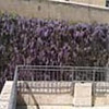 Wisteria vine across from the Temple Mount, Old City, Jerusalem (Joshua Siskin/