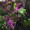Western redbud (Cercis occidentalis) (Joshua Siskin/Los Angeles Daily News)