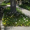 Marla Martin's Woodland Hills parkway planted with Mexican evening primrose (Oe