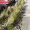 Mexican feather grass (Stipa tenuissima) on Sherman Oaks Parkway