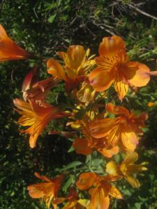 Alstroemeria 'The Third Harmonic' growing in a garden
