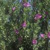 Claire Martin's Texas Ranger (Leucophyllum frutescens)