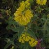 Jerusalem sage (Phlomis fruticosa) (Joshua Siskin/Los Angeles Daily News)