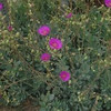 Rock purslane (Calandrinia spectabilis) (Joshua Siskin/Los Angeles Daily News)