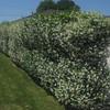 Star jasmine hedge (Trachelospermum jasminoides) (Joshua Siskin/Los Angeles Dai