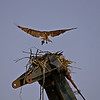 OSPREY NESTING ON CRANE IN ANACOSTIA PARK WITH FISH IN TALON<br /> IMAGE 2586