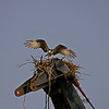 OSPREY NESTING ON CRANE IN ANACOSTIA PARK<br /> IMAGE 2619