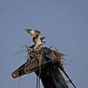 OSPREY NESTING ON CRANE IN ANACOSTIA PARK<br /> IMAGE 2615