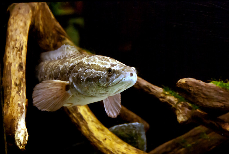 NORTHERN SNAKEHEAD (IMAGE 583)