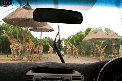 Safari World, Thailand .... They walked right up to our car!  Photographer Ross Hamamura, www.RDHphoto.net
