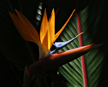 Bird of Paradise taken at the Hale Koa  stream of sunlight coming down through the trees hitting just this flower.  Photographer Katherine Finch more of her images at  www.pbase.com/finches