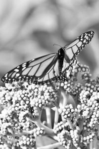 My very first Butterfly shot ever ... Ross Hamamamura, e500
