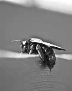 e510 w/ 50-200mm ... Ok, not really a Macro .... more like a Bee pic :) .... Ross Hamamura, web site: www.RDHphoto.net