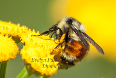 Bombus ternarius (Tri-colored Bumblebee)