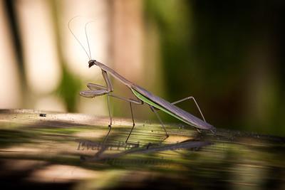 Hawaii Big Island Praying  Mantis