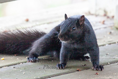 Rainbow Black Squirrel on Deck in the morning sun.