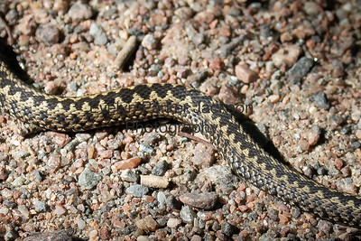 "Close up of the ""Common Viper's"" skin pattern on a sunny path on the Island of Seili, in the Åland Islands, Finland."