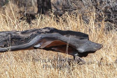 Deadwood Snake