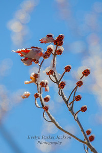Maple Tree Buds Glistening in March
