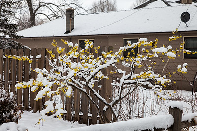 Witch Hazel in Michigan Snow