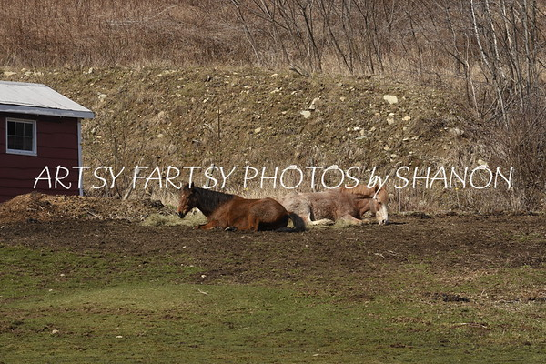 2 horses laying in a paddock