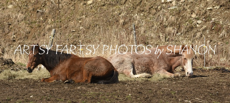 two horse laying down