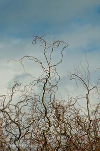 Winter corkscrew willow