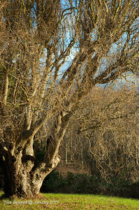 Corkscrew willow in last of the winter sun.