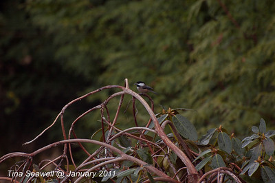 Black-capped chickadee on winter rhododendron.