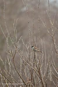 Adult male house sparrow.