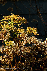 Dried hydrangea backed by dried golden rod.