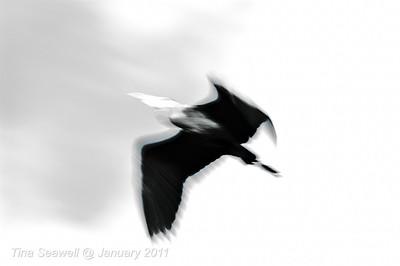 Great blue heron flies between me and the sun.