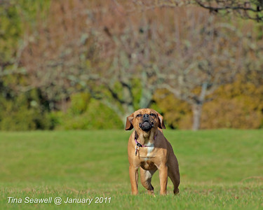 The neighbors puggle (pug/beagle) defends his turf from the evil photographer.