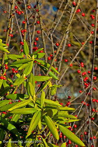 Winter rhododendron surrounded by red cotonester berries.