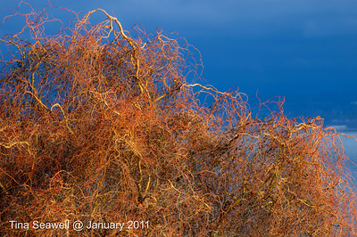 Willow in the last of the sunset against storm clouds