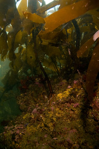Seiku boulders and kelp.